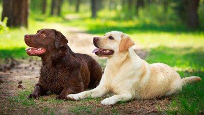 Sticker deux labrador retriever chien