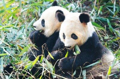 Sticker Deux, panda, ours, manger, bambou, séance, côte, côte ...