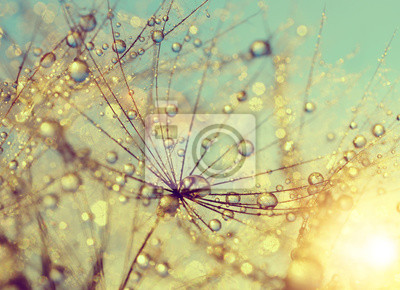 Dewy fleur de pissenlit au coucher du soleil close up