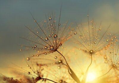 Dewy fleur de pissenlit au lever du soleil de près. Arrière-plans naturels.