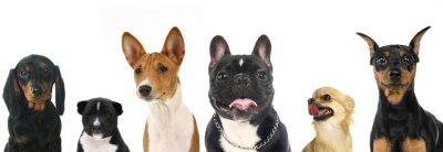 Sticker Différentes races de petits chiens
