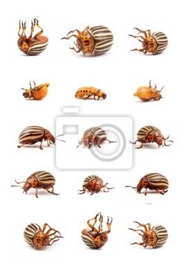 doryphore de la pomme coléoptères