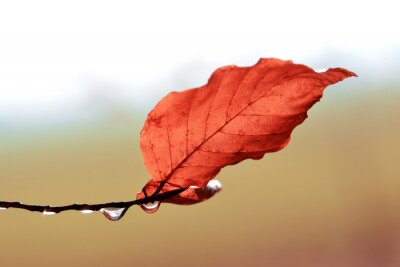 Drops of water and leaf on branch of beech tree close up. Autumn season. Nature background.
