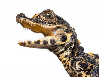 Sticker Dwarf crocodile against white background