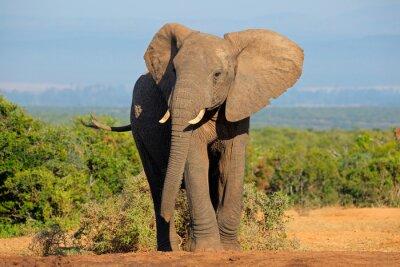 Sticker Éléphant d'Afrique, Addo Elephant National Park
