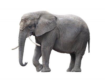 Sticker Éléphant d'Afrique isolé sur blanc avec chemin de détourage