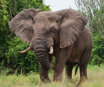 Sticker Éléphant dans la savane. Tir de ballon à air chaud. Afrique. Kenya. Tanzanie. Serengeti. Maasai Mara. Une excellente illustration.