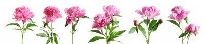 Sticker Ensemble de fleurs de belle pivoine sur fond blanc