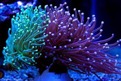 Sticker Euphyllia torche corail LPS coloré dans l'aquarium de récif