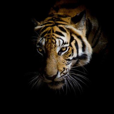 Sticker fermer le visage de tigre isolé sur fond noir