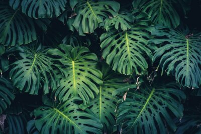 Sticker Feuilles de Monstera Philodendron - plante de forêt tropicale
