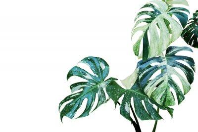 Sticker Feuilles panachées de Monstera, plante de feuille fendue de Philodendron isolée on White Background