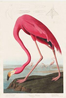 Sticker Flamant rose des oiseaux d'Amérique (1827) de John James Audubon (1785 - 1851), gravé par Robert Havell (1793 - 1878)