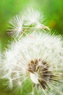 Sticker Fleur de pissenlit avec deux graines sur le dessus