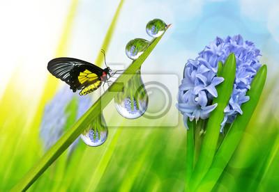 Fleur de printemps jacinthe et gouttes de rosée sur l'herbe verte avec papillon.