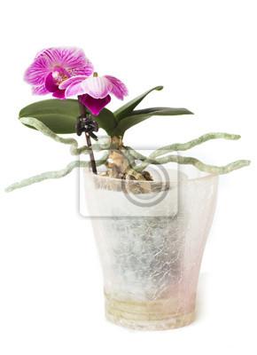 fleur Orhidei dans le pot