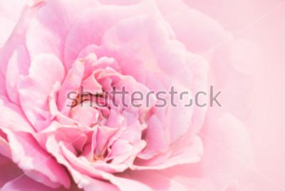 Sticker Fleur rose rose sur fond rose avec une faible profondeur de champ et centre du centre de la fleur rose. Belle rose rose dans le jardin. macro rose rose.
