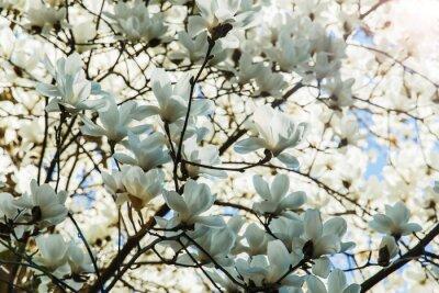 Sticker Fleurir, blanc, magnolia, fleurs, ressort, temps
