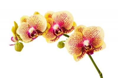 Sticker fleurs d'orchidée isolé sur fond blanc.
