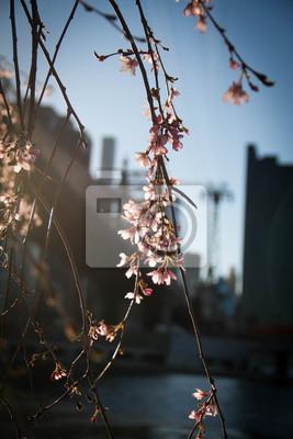 Fleurs de cerisier en fleurs avec la lumière du coucher du soleil et fond de Manhattan floue