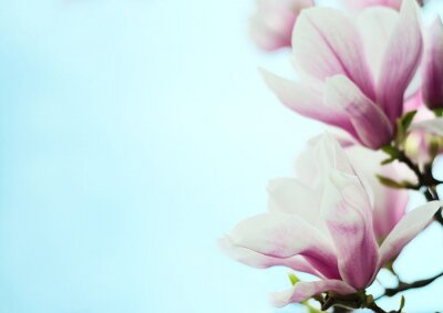 Sticker Fleurs de magnolia sur un fond de ciel bleu