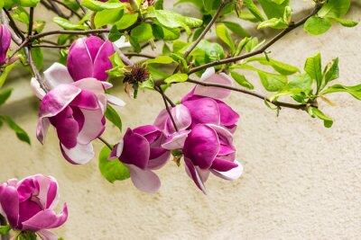 Sticker fleurs de magnolias sur un fond blury