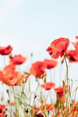 Sticker Fleurs de pavot rétro pacifique fond d'été