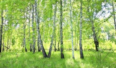 Sticker forêt de bouleaux