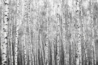 Sticker Forêt de bouleaux, photo noir et blanc