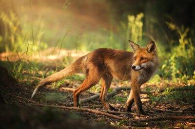 Sticker Fox sur la forêt de l'été