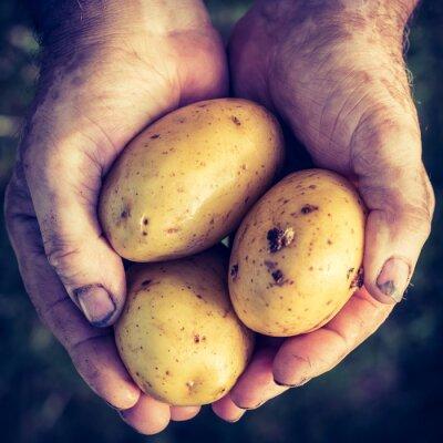 Sticker Fraîches, pommes terre, mains
