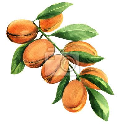 Frais, Argan, arbre, branche, fruits, isolé, aquarelle, Illustration