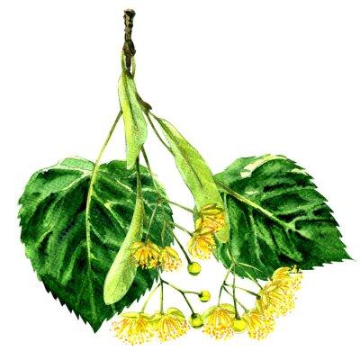 Frais, fleur, feuille, linden, branche, isolé, aquarelle, Illustration