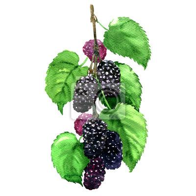 Frais, fruit, noir, mûre, feuilles, isolé, aquarelle, Illustration