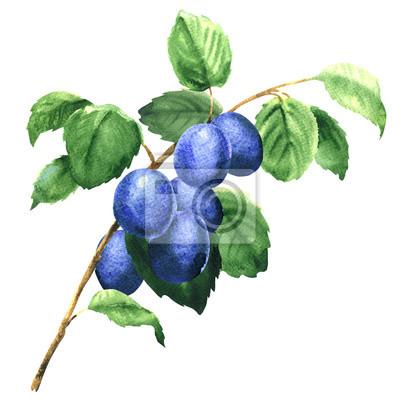 Frais fruits prunes sur les branche isolé isolé, aquarelle