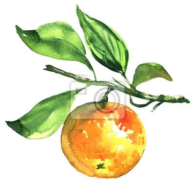 Frais, mûre, mandarine, mandarin, sur, a, branche, isolé, aquarelle, Illustration