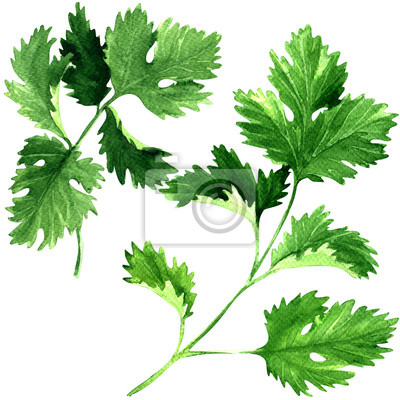 Frais, persil, herbe, feuilles, isolé, aquarelle, Illustration, blanc