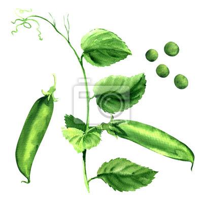 Frais, pois, vert, pois, plante, isolé, aquarelle, Illustration