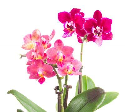 Sticker Frais, rose, orchidée, pot
