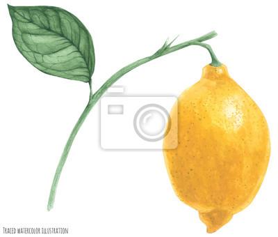 fresh lemon branch, traced watercolor illustration