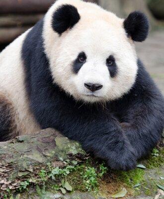 Sticker Géant, panda, poser, appareil photo, Chengdu, Szechuan, porcelaine