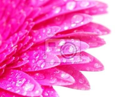 gerbera fleur