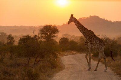 Sticker Girafe au parc national Kruger Sunrise