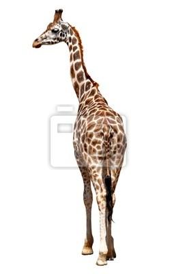 girafe isolé