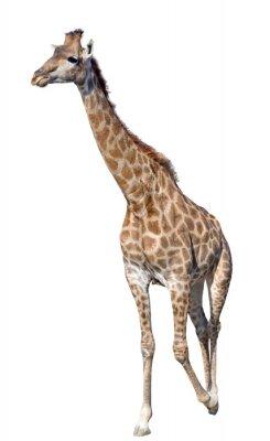 Sticker Girafe isolé sur fond blanc