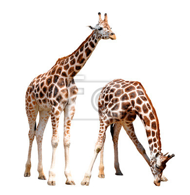 girafes isolés