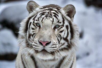Sticker Glamour portrait d'un jeune tigre blanc du Bengale
