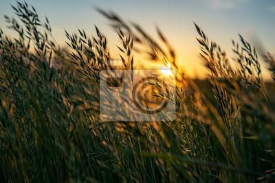 Sticker golden Wild wheat on the field at sunset sunrise