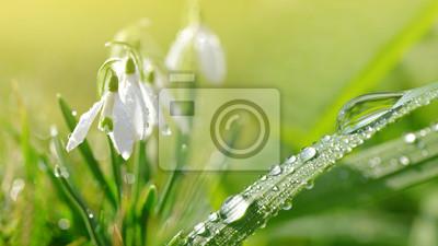 Goutte de rosée sur l'herbe verte et des fleurs de perce-neige sur le pré. Saison de printemps.