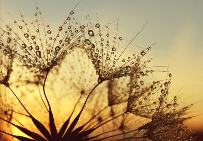 Gouttes de rosée sur des graines de pissenlit au lever du soleil de près.